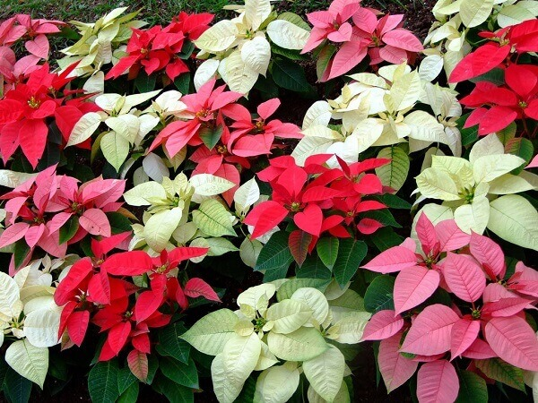 Various Christmas flowers