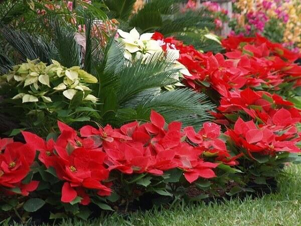 Christmas flower in garden