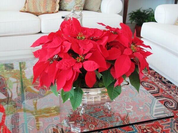 Christmas flower on living room table