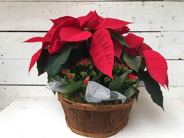 Potted Christmas flower
